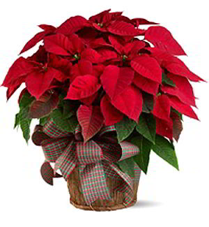 Denville Florist | Large Red Poinsettia